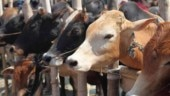 AAP politicising cow, will lodge complaint with Election Commission: Delhi BJP