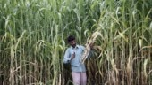 Elections strike sour note across UP's sugarcane belt