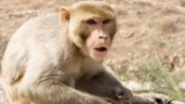 Monkeys run riot in south Delhi homes