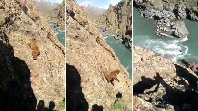 Bear falls off steep cliff after being stoned by people in Kargil | WATCH