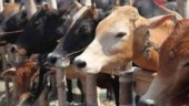 Ahead of May 12 polls, two cows found dead in East Delhi's Trilokpuri, security upped