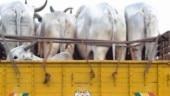 7 arrested for suspected cattle smuggling in J&K, 48 animals rescued