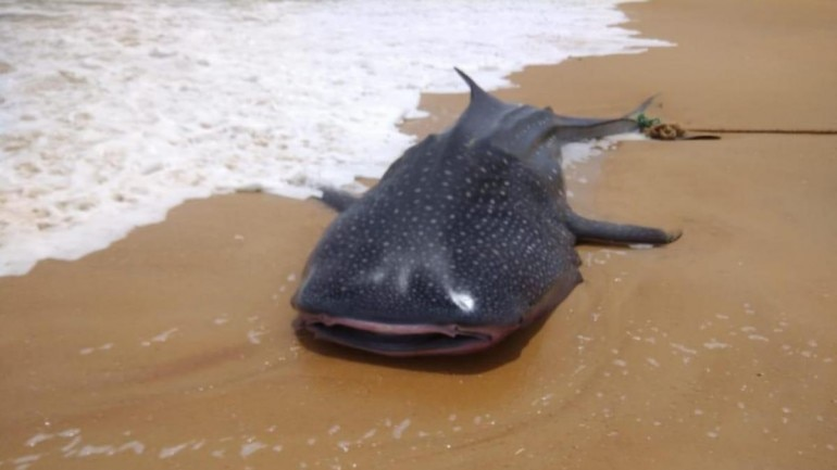 4 3 metre-long whale shark washes up on Mangaluru shore This