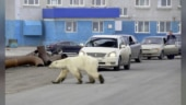 Watch: Exhausted polar bear wanders into Siberian city in search of food
