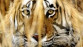 With death of a tiger, Sariska reserve is left with one cat for eight tigresses