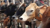 Mystery shrouds death of over 110 cows, buffaloes in Punjab's Mohali