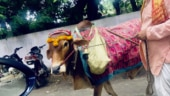 Robert Vadra goes out for walk, praises Incredible India, cows that predict future