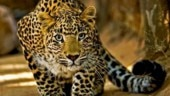 Man-eating leopard trapped in Uttarakhand