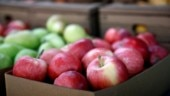 An apple a day is 100 million bacteria for your gut. But it is not all bad news