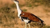 Govt to invest Rs 33 crore to save 130 great Indian bustards left in the country