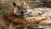 Tiger numbers to be announced on Monday, good news expected