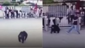 Chimpanzee escapes from cell in China zoo, kicks zookeeper. Video goes viral