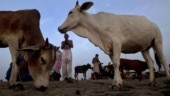 Madhya Pradesh passes law against cow vigilantism