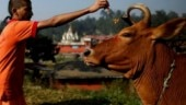 Certificates to cow carriers to check lynching in Uttar Pradesh