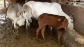 Gujarat man gets 10 years in jail, Rs 1 lakh fine for killing calf