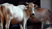 Uttar Pradesh: 5 held for slaughtering stray cows in Shamli