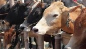 Cows in Jammu get geo-tagged as civic body looks to tackle stray menace