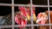 Denied free chicken, neighbours go on a killing spree in Gwalior