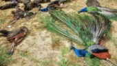 Man lynched in Madhya Pradesh for stealing peacocks