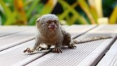 World's smallest monkey fossil, the size of a hamster, found in Amazon jungle