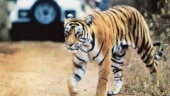 Tiger population down in Chhattisgarh, experts blame poor law and order in the state