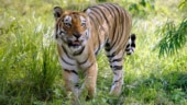 Telangana tiger count at 26, up from 20 in 2014: Report