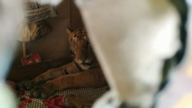Tiger caught sleeping on bed in Assam home after fleeing flooded Kaziranga. Viral pic