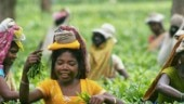 Economic slowdown: Assam tea industry under severe stress