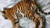 MP: 4-month-old tiger dies in Bandhavgarh National Park