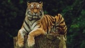 Decoding Tiger Census 2018: WII scientist explains method, talks about the smaller tiger populations gone extinct