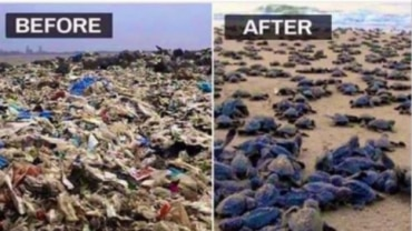 Fact Check: Are sea turtles making a beeline for Mumbai beach after cleanup?