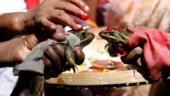 MP: 2 months after wedding, frogs divorced to stop rains in Bhopal