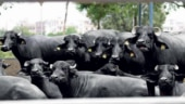 Toxic water released from factories claim lives of many buffaloes, FIR registered