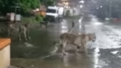 After crocodiles, lions take over the streets of Gujarat. Watch spine-chilling video
