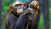 ED attaches Chimpanzees, Marmosets worth Rs 81 lakh in money laundering case