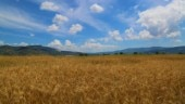 Droughts to affect 60% of wheat-producing areas by 2100: Study