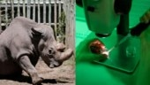 Scientists successfully create white rhino embryo in lab just a year after last male white rhino Sudan's death