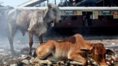 10 cows, locked up in Madhya Pradesh school by villagers for destroying crops, die of starvation