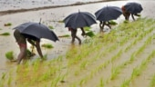 Why strong monsoon rains are not necessarily good news for farmers in India