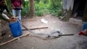 Giant king cobra rescued from toilet in Odisha