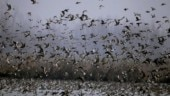 Migratory birds missing as pollution levels rise in Delhi NCR