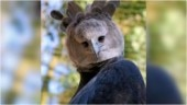 Is that a bird or a person wearing a costume? Viral pics of incredible Harpy eagle confuse Internet