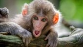 Monkeys are more mentally flexible than humans, shows study