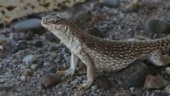 Six new lizard species have been found in Western Ghats by scientists