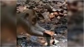 Monkey uses dry leaves to fix leaking pipe in viral video. Humans should learn from animals, says Internet