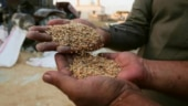 Govt hikes wheat MSP by Rs 85/qtl; pulses up to Rs 325/qtl