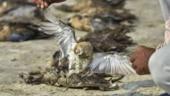 Death toll of migratory birds in Rajasthan's Sambhar Lake reaches 17,000