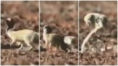 Mongoose escapes cobra's deadly attack in split second. Viral video leaves Internet stunned