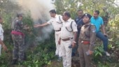 Odisha: Police destroy over 9 lakh cannabis plants on 462.55 acres of land