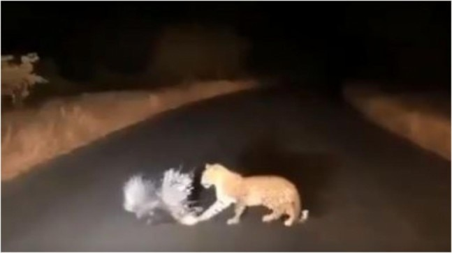 Leopard and porcupine caught in a deadly battle in viral video. Guess who had the last laugh